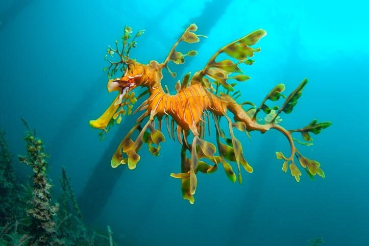 Leafy-Sea-Dragon-Rapid-Bay-Smaller_WEB